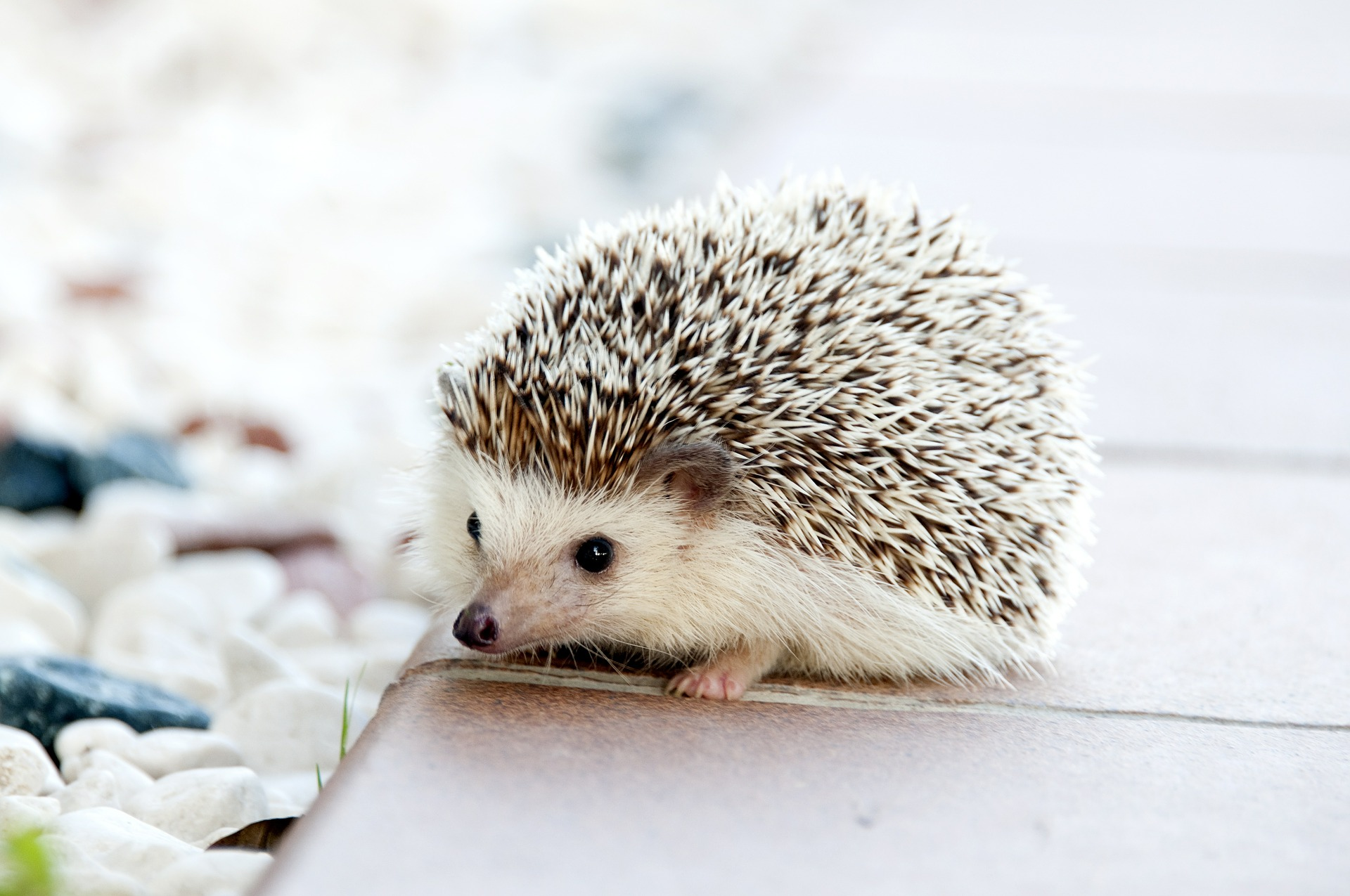 a hedgehog cafe has opened in tokyo oh god it s cute