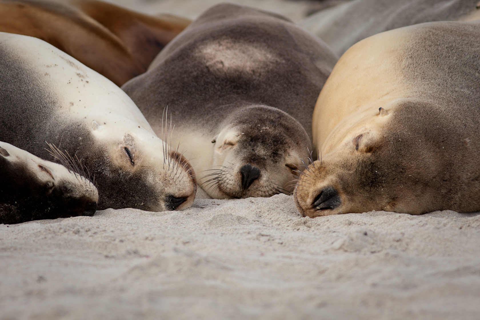 Juvenile Australian Sea Lion Neophoca Cinerea Ling On A Beach Seal Bay Conservation Area Kangaroo Island South Australia