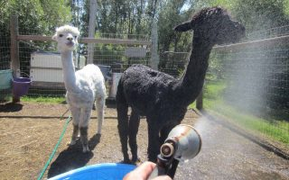 Alpacas at 313 Farms Manitoba