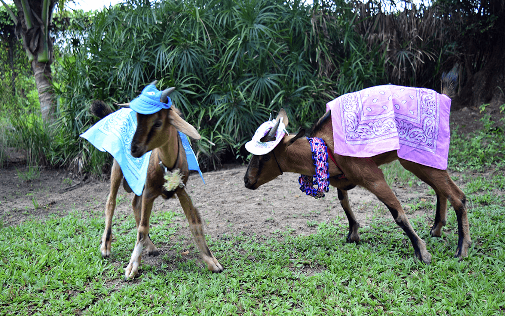 Sunset Palms Resort Introduces Picnics With Their Pet Goat