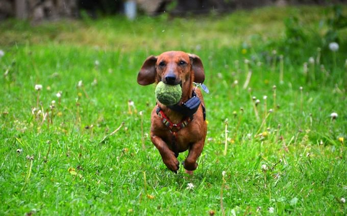 Image of: Cutest Sausage Heres Where You Can Hang Out With 600 Sausage Dogs This Weekend New Scientist Heres Where You Can Hang Out With 600 Sausage Dogs Next Weekend