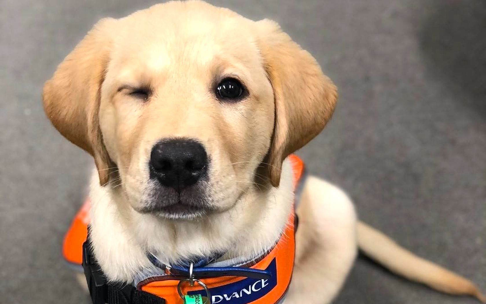 Guide dogs in training get puppy-sized harnesses – american kennel.