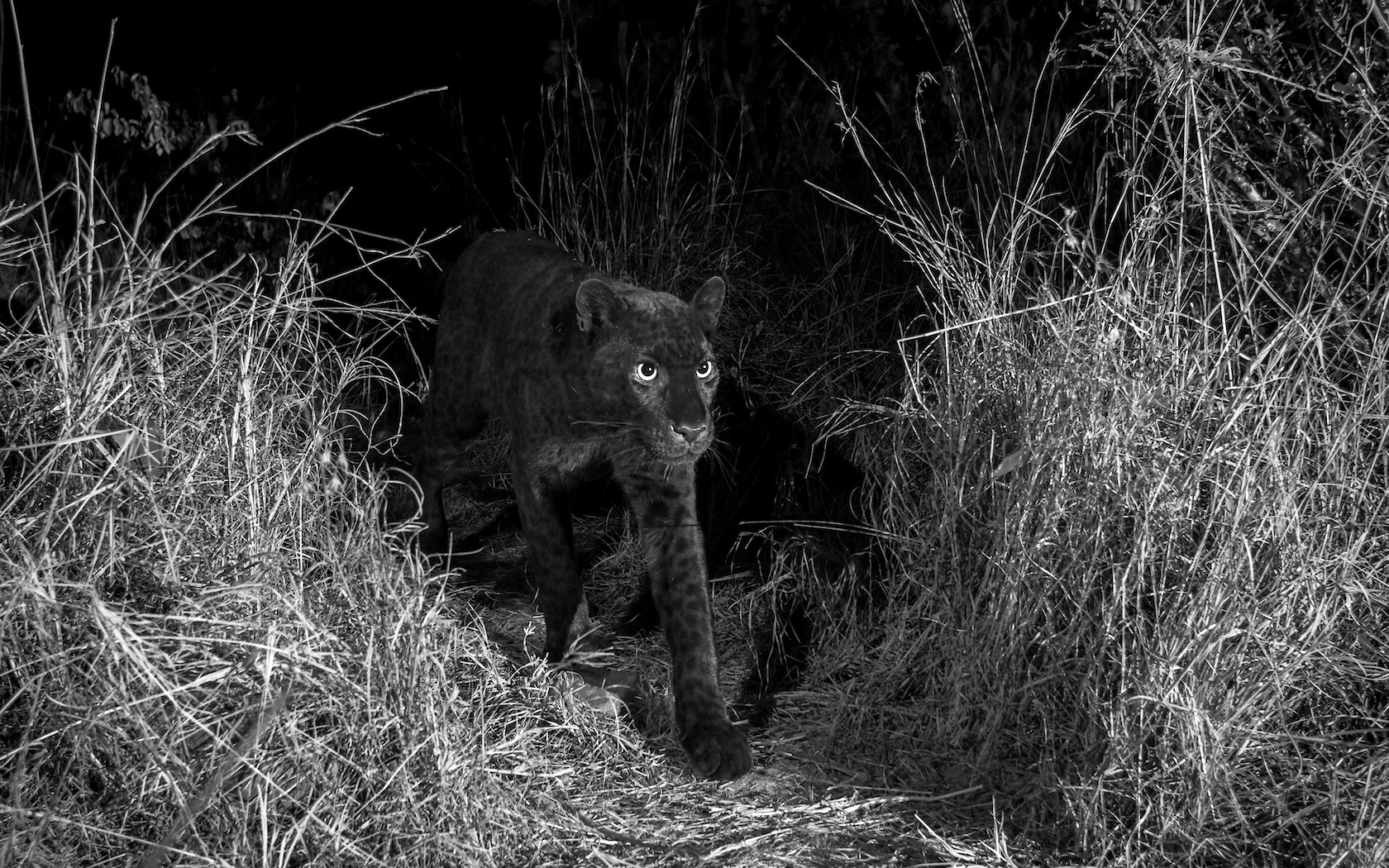 Black panther photos photographer captures rare photos of species