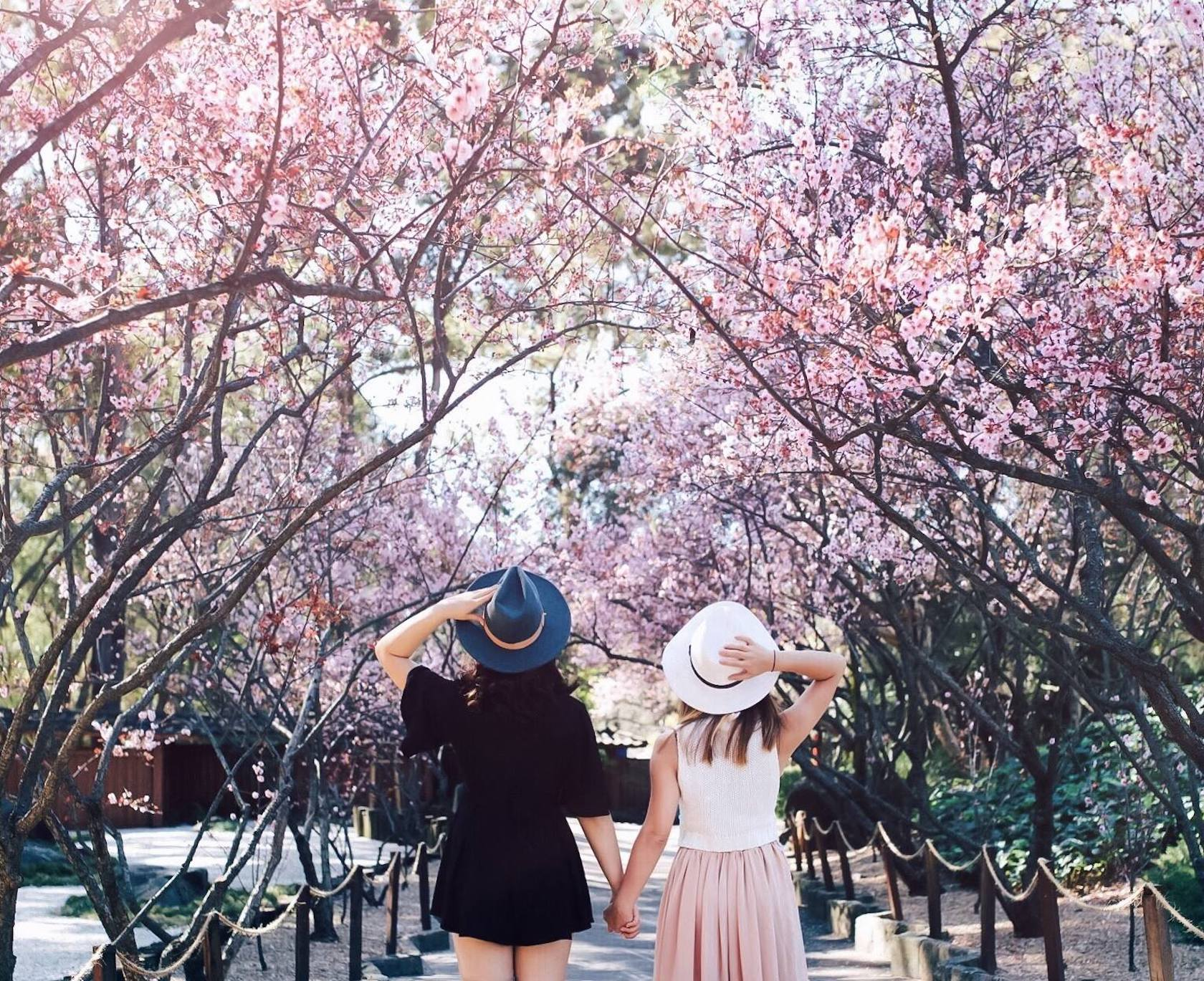 Sydney Cherry Blossom Festival See Japan S Famous Sakura This Month,Wall Stickers For Bedroom Amazon